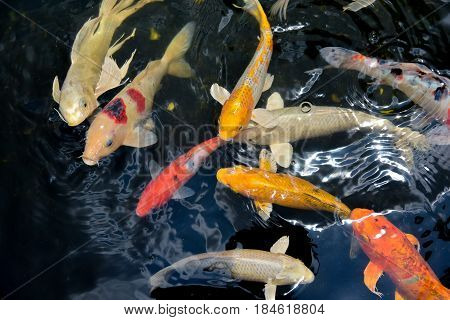 top view koi fishs out door for background