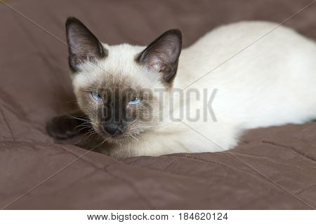 the kitten (Siamese type Mekong bobtail) lies on a cover and dozes