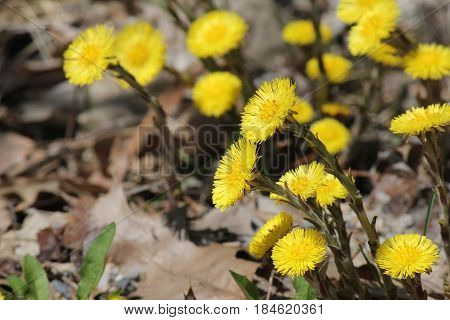 Coltsfoot (Tussilago farfara) wild flowers growing in the gravel beside an old country road in early spring in Ontario.