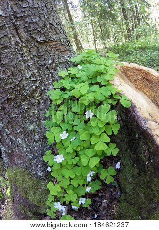 the blossoming wood sorrel (Oxalis acetosella) on a stub