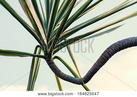 Green leaves nature background.Flat lay. warm tone Dracaena Marginata (Madagascar Dragon Tree) | Our House Plants
