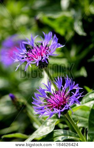 Big mountain knapweed (centaurea montana). Blue flowers. Bachelor`s button. Shallow focus background.