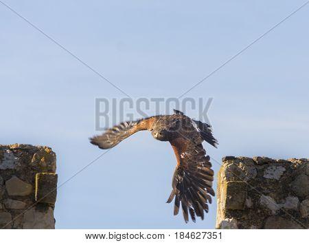Harris Hawk Flying