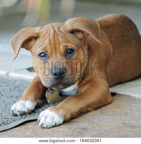 Adorable puppy, boxer pitbull  pit bull mix looking at camera