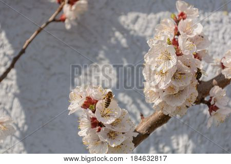 Avid bee pollinate a blossoming apricot tree - close up