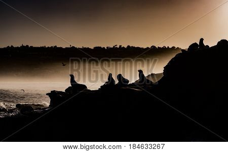 California Sea Lions (Zalophus californianus) silhouette on rocks cliffs at dawn with birds and fog at La Jolla cove, California, USA