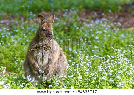 Bennett's wallaby at Adventure Bay Bruny Island Tasmania Australia
