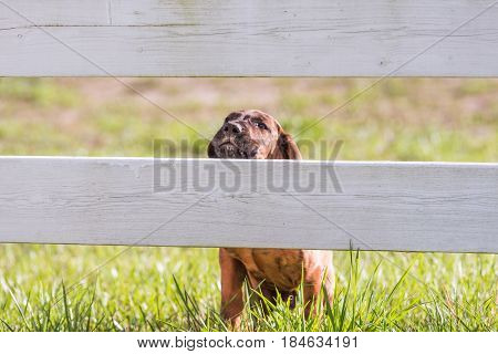 A puppy has its head partially over a fence rail