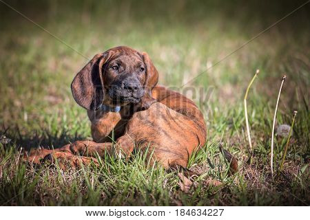 Hanoverian hound puppy curled up on grass