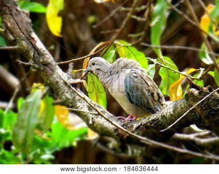 Common pigeon resting at a tree branch. Foreground of a female pigeon. Grey dove close up. Bird resting