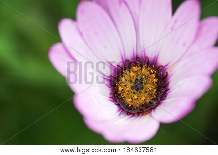 Beautiful white osteospermum with lilac and yellow in the middle in the garden selective focus
