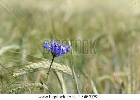 Blue flower knapweed growing against the background of a wheat field / summer field landscape