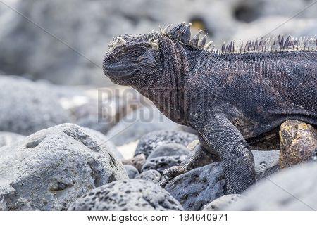 Marine Iguana in the Galapagos Islands Ecuador