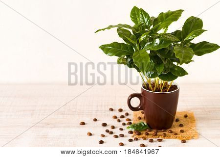 Cup of coffeebeans in front of small coffee tree in a potted plant
