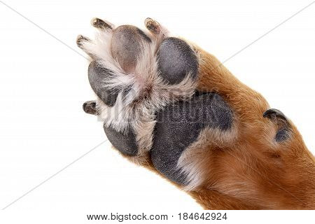 Close Shot Of An Adorable Staffordshire Terrier's Paw