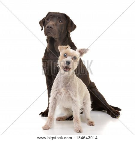 Studio Shot Of An Adorable Mixed Breed Dog And A Labrador Retriever