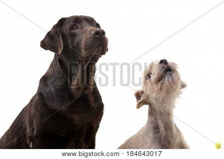 Studio Shot Of An Adorable Mixed Breed Dog And A Labrador Retriever
