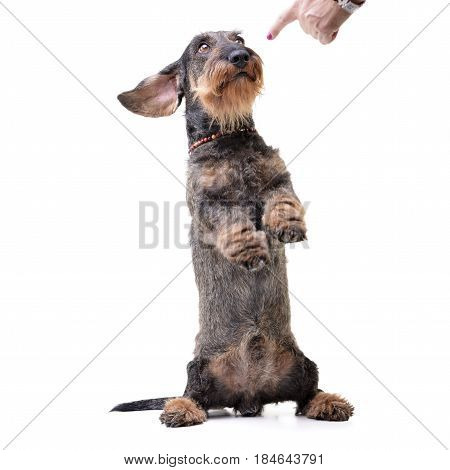 An Adorable Dachshund Standing On Hind Legs