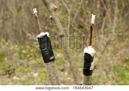 Grafting branches of fruit tree buds closeup to another tree stems on garden background