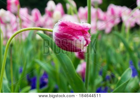 Raindrops on a purple Flower. Close-up of a Tulip (Tulipa) on a rainy Day. Raindrops on a Pink Tulip. A Field full of pink Flowers. Garden Flowers