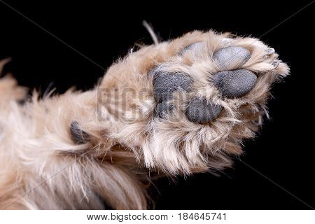 Studio Shot Of A Cute Yorkshire Terrier's Paw