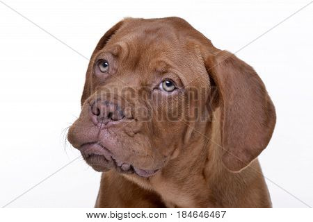 Portrait Of An Adorable Dogue De Bordeaux