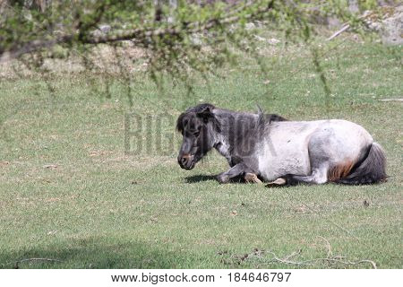 Dark & light gray horse, in a small enclosed corral in early spring.