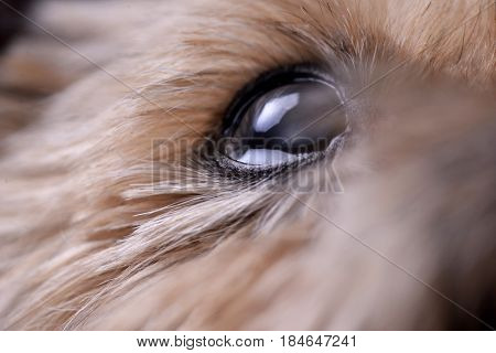 Close Shot Of A Blind Yorkshire Terrier's Eye