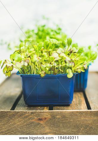 Fresh spring green live radish kress sprouts in blue plastic pots on wooden box over white marble background for healthy eating, selective focus. Clean eating, dieting, detox food concept