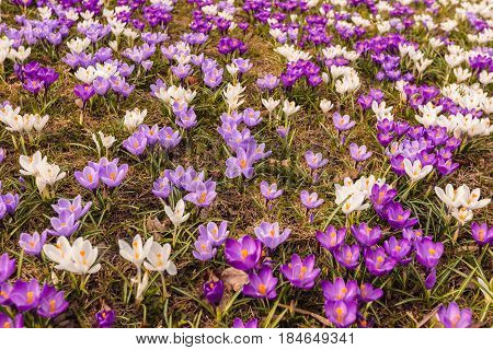 Glade of beautiful crocuses on a spring sunny day