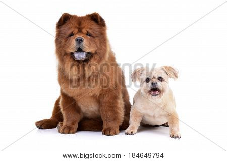 Studio Shot Of An Adorable Havanese And A Chow Chow