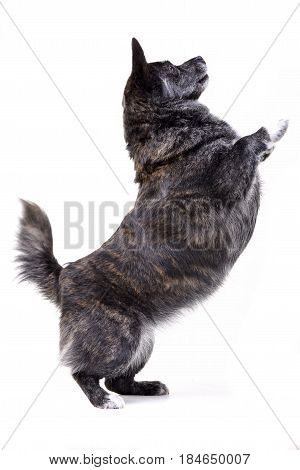 An Adorable Mixed Breed Dog Standing On Hind Legs
