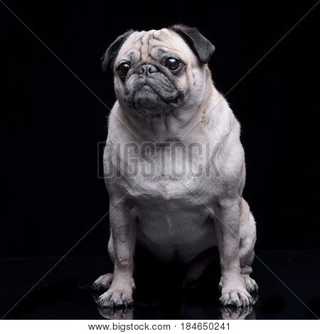 Studio Shot Of An Adorable Mops (or Pug)