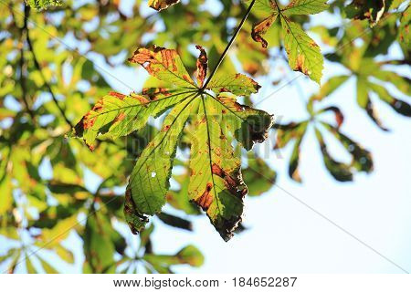 Chestnut leaves in mid autumn season brown and green