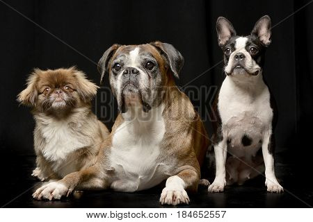 Studio Shot Of Three Adorable Dog