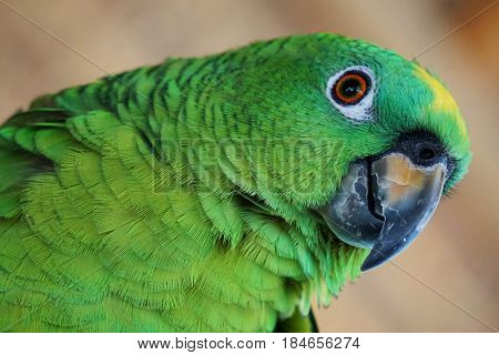 This is Polly, she is a mostly green Parakeet in the Amazon Rainforest