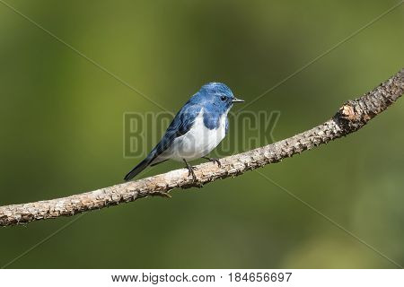 Ultramarine flycatcher perching : Bird in thailand