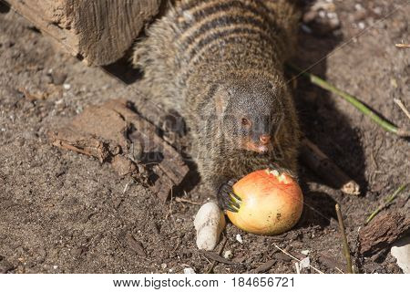 Close up view of the yellow mongoose eating an apple on sand.