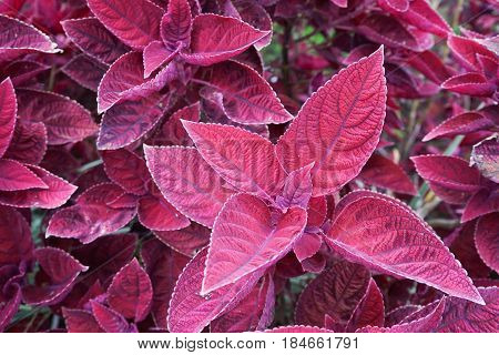 Coleus leaves, iler, miana, Lamiaceae, also called Painted nettle Flame nettle. Leaves background.