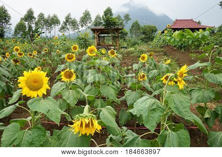 Sun flower sunflower or helianthus annuus blooming in field garden on sunny day