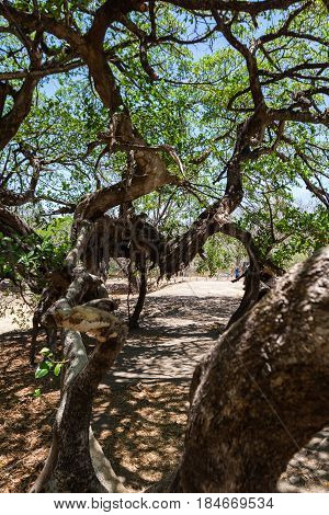 interesting looking tee in Guanacaste Costa Rica with very long limbs that tangle and stretch into a variety of shapes.