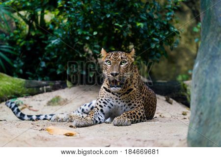 leopard (Panthera pardus kotiya), also known as the Ceylon Leopard.