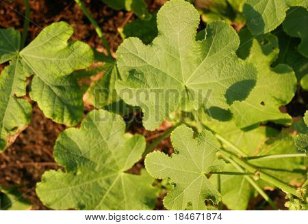 Texture of green leaves and buds of Common hollyhock Alcea rosea