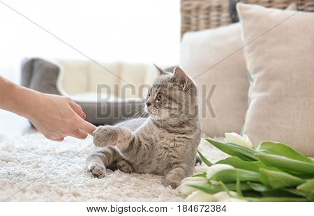 Female hand playing with cute cat lying on white rug near tulips in light room