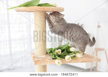 Cute cat sharpening claws on tree with tulips in light room