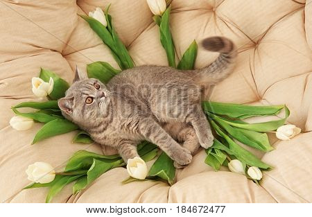 Cute cat lying in lounge armchair with white tulips