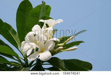 Plumeria Vintage Tone on the plumeria tree frangipani tropical flowers. White and yellow plumeria flowers on the plumeria tree in blue background.