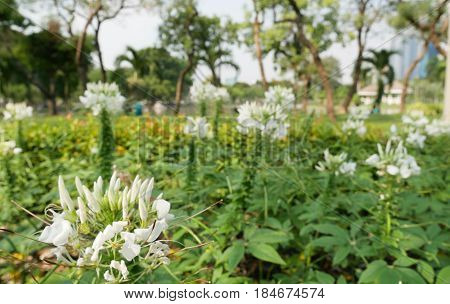 Beautiful Cleome flower (Cleome hassleriana) or spider flowers. White Spider flower in the garden for background. Abstract blur - Soft Focus