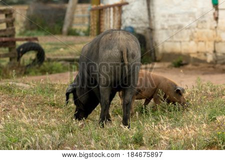 Iberian pigs grazing in a farm in the landscape