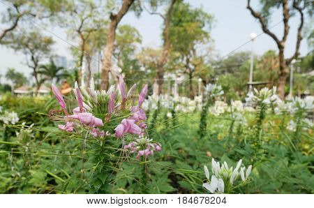Beautiful Cleome flower (Cleome hassleriana) or spider flowers. Pink and White Spider flower in the garden for background. Abstract blur - Soft Focus